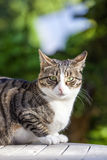 Cute cat relaxing on a wooden table in the garden. Cute mackerel tabby cat relaxing on a wooden table in the garden Stock Photos