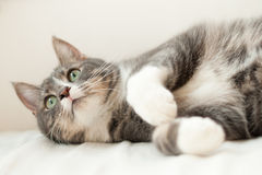 Cute cat resting and looking up Stock Photography