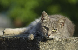 Cute Cat Resting. Portrait of beautiful resting cat Royalty Free Stock Photography