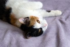 Cute cat is resting on the purple blanket. stock photography