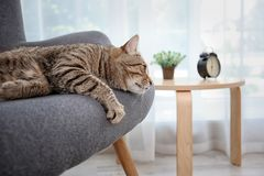 Cute cat resting on sofa royalty free stock photos
