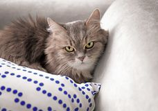 Cute cat resting on sofa at home royalty free stock photo