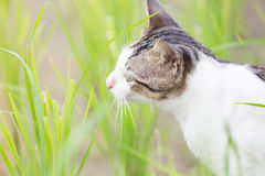 A cute cat in the rice field Royalty Free Stock Photography