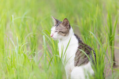 A cute cat in the rice field Stock Images