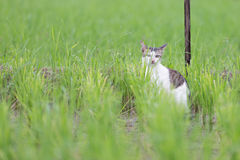A cute cat in the rice field Stock Photo