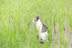A cute cat in the rice field Royalty Free Stock Image