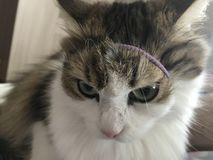 Cute cat with a rubber band royalty free stock photo