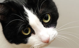 Cute cat with sad eyes. A Cute black and white cat with sad yellow eyes Stock Images