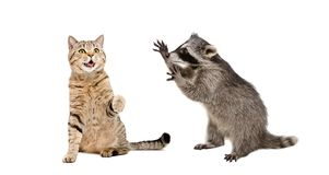 Cute cat Scottish Straight and  funny  raccoon playing together royalty free stock photography