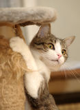 Cute Cat  Scratching a Post. A cute cat  scratching and hugging a scratching post Royalty Free Stock Photos