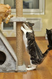 Cute Cat  Scratching a Post Stock Images