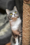 Cute Cat  Scratching a Post Stock Photography