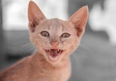 Cute cat screaming Royalty Free Stock Photography
