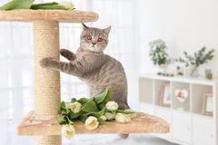 Cute cat sharpening claws on tree with tulips. In light room royalty free stock photo