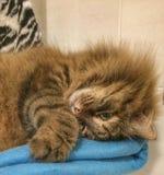 Cute cat of Siberian breed Royalty Free Stock Photos