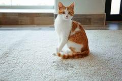 Cute cat sitting on carpet near wet. Spot Royalty Free Stock Image