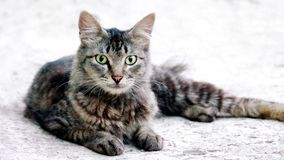 Cute cat sitting in floor casually. And its yellow beautiful eye looking straight into the camera Stock Image