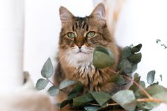Cute cat sitting among green eucalyptus branches and relaxing at window in stylish room. Maine coon looking with green eyes and stock photo