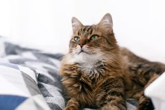 Cute cat sitting among pillows and relaxing at window in stylish room. Maine coon with serious emotions and funny expression stock images