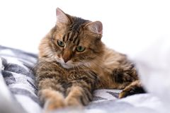 Cute cat sitting among pillows and relaxing at window in stylish room. Maine coon with serious emotions and funny expression stock photos