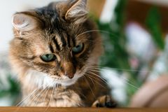 Cute cat sitting under green plant branches and relaxing on wooden shelf on white wall backgroud in stylish room. Maine coon with stock photo