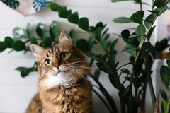 Cute cat sitting under green plant branches on wooden shelf in stylish boho room. Maine coon with green eyes looking with funny stock photography