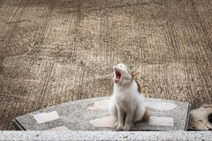 Cute cat sitting yawning Stock Images