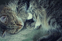 A cute cat sleeping Stock Photography