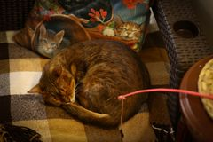 Cute cat sleeping on chair with pillows close up photo royalty free stock photos