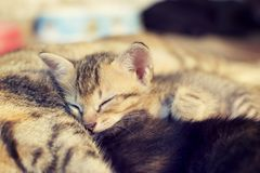 Cute cat is sleeping on the mother cat's belly and happily. sele Royalty Free Stock Photography