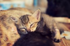 Cute cat is sleeping on the mother cat's belly and happily. sele royalty free stock image