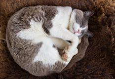 Cute Cat sleeping on wool Stock Images