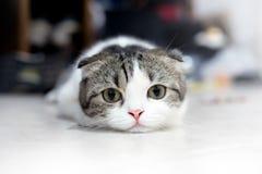 Cute cat sleeps, Scottish Fold. royalty free stock images