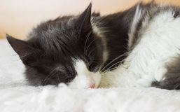 Cute cat sleeps Stock Image