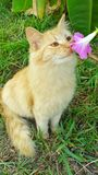 Cute cat smelling flower. Orange tabby cat smelling flower kitten adorable animals pets Royalty Free Stock Image