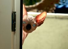 Cute  cat. Cute sphinx cat on balcony Royalty Free Stock Image