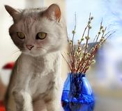 Cute Cat in the spring and blue glass vase plants a bouquet of willow at the top of the window animals enjoy the suns stock photos