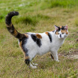 Cute cat standing on grass with its raised tail. One cute mixed-breed cat standing on grass with its raised tail. Outdoors portrait of domestic cat. Color image Royalty Free Stock Images