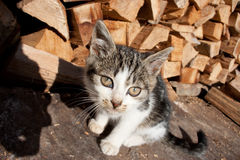 Cute cat staring into lens. By the wood chops. Pretty and playful cat Stock Image