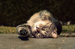 Cute cat stretches and resting Royalty Free Stock Image
