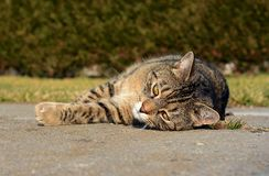Cute cat stretches and resting Stock Images
