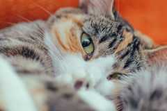 Cute cat of tortoiseshell color Stock Photography