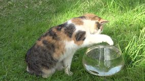 Cute cat try to catch fish from plastic bowl with water and run. Closeup. 4K stock footage