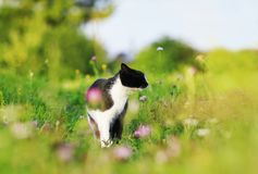 Cute cat walking on a lush green meadow on a warm summer evening and sniffing the flowers of fragrant pink clover. Portrait of a cute cat walking on a lush green stock image
