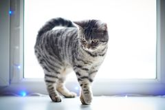 Cute cat walks on the window sill. Cute cat walks on window sill royalty free stock images