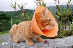 Cute cat wearing orange plastic cone collar Royalty Free Stock Images