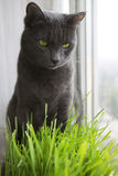 Cute Cat with Wheat Green Sprouts, Grass Growing. Royalty Free Stock Images