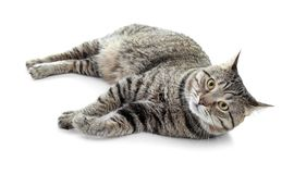Cute cat on white background. Lovely pet royalty free stock image