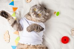 Cute cat, in a white T-shirt with children`s toys. Big kitty royalty free stock photo