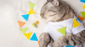 Cute cat in a white T-shirt with children& x27;s toys. Sweet kitten, banner for design. Feline pet background fur animal kitty portrait present playful idea paw stock photos